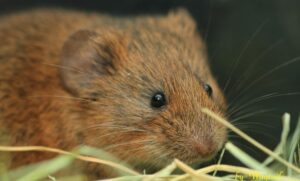 Bizarre Rodent Genetics Research Solves a Mystery Then Even Stranger